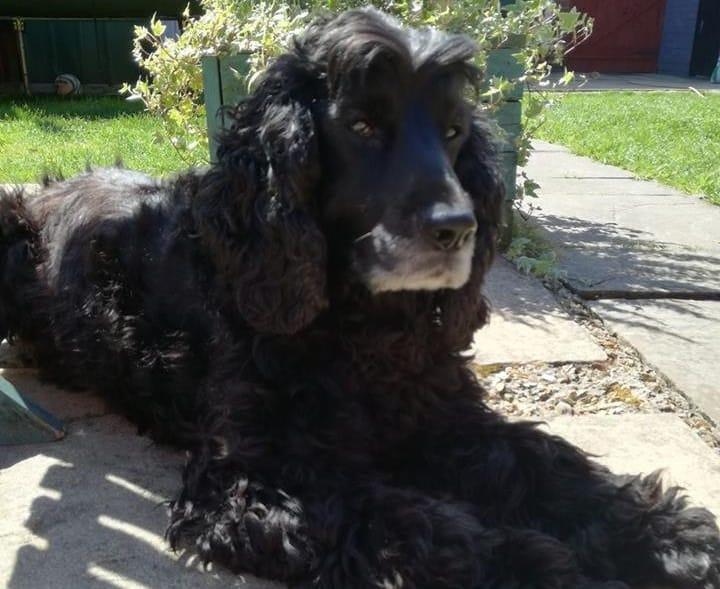 Cocker Spaniel Haircut Guide - Top Hairstyle Trends The ...