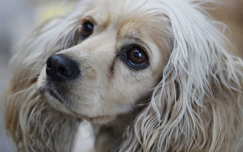 Why Do Cocker Spaniels Get Tear Stains